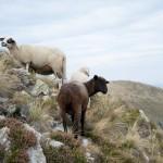 Geiten op de Monte Lema berg - Zwitserland - Chaletluganomeer.nl